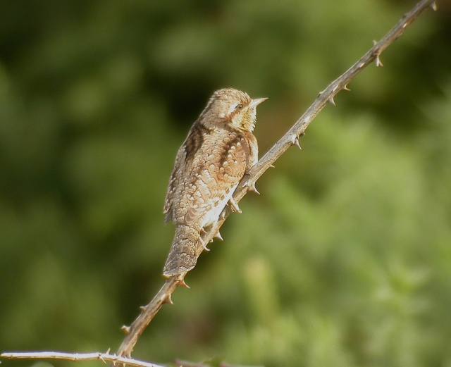 Wryneck at Ogmore-by-Sea