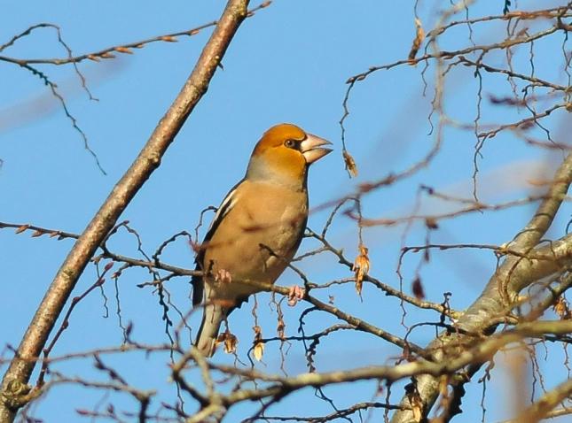 Hawfinch at Forest Ganol