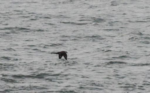 Pomarine Skua Bracelet Bay 11Oct14