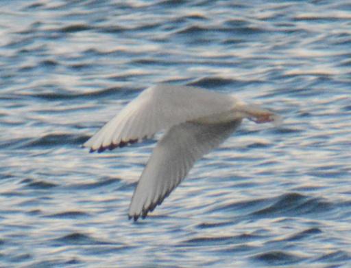 Bonaparte's Gull Cardiff Bay(11) 24Mar15