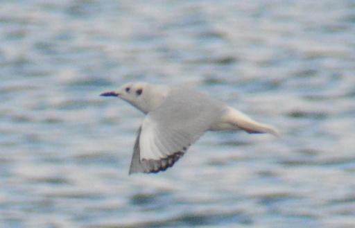 Bonaparte's Gull Cardiff Bay(13) 24Mar15