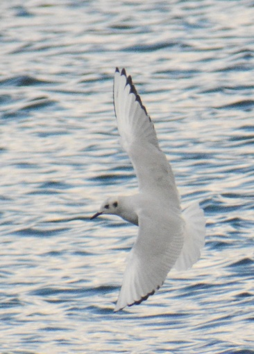 Bonaparte's Gull Cardiff Bay(15) 24Mar15