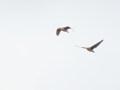 Male chasing female Bittern