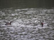 06feb17-pochards-at-the-wilderness