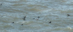 Smew with Velvet Scoters 7Feb17