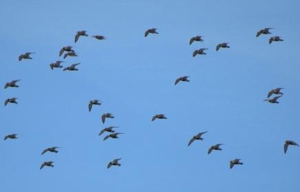 03Apr17 Golden Plover flock