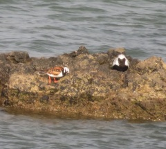 11May17 Breed Plum Grey Plover and Turnstone at Sker
