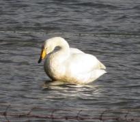 16Nov17 KNNR5 Whooper Swan