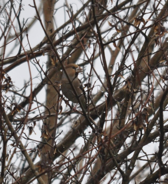 hawfinch penyrheol