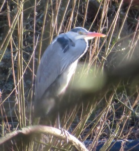 07Feb18 1 Grey Heron Wilderness