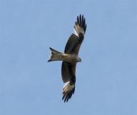 IMG_5440 kite 2