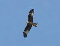 IMG_5446 kite 1