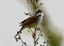 IMG_5515 whitethroat song