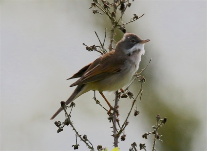IMG_5517 whitethroat