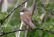 IMG_5567 whitethroat