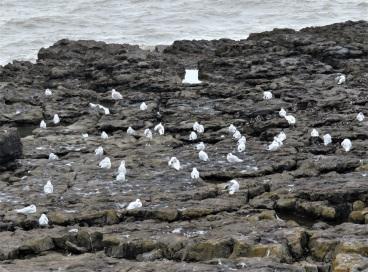 28Aug18 Med Gulls at Porthcawl4 14ad 1juv
