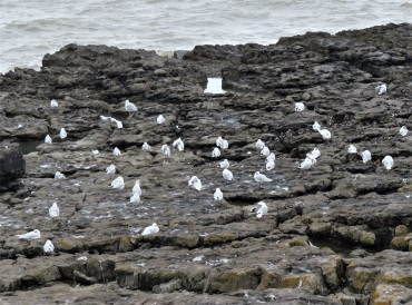 28Aug18 Med Gulls at Porthcawl4 14ad 1juv