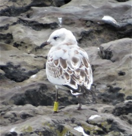 28Aug18 Med Gulls at Porthcawl7 juv 2P15