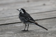 Pied Wag Cossie Aug 18