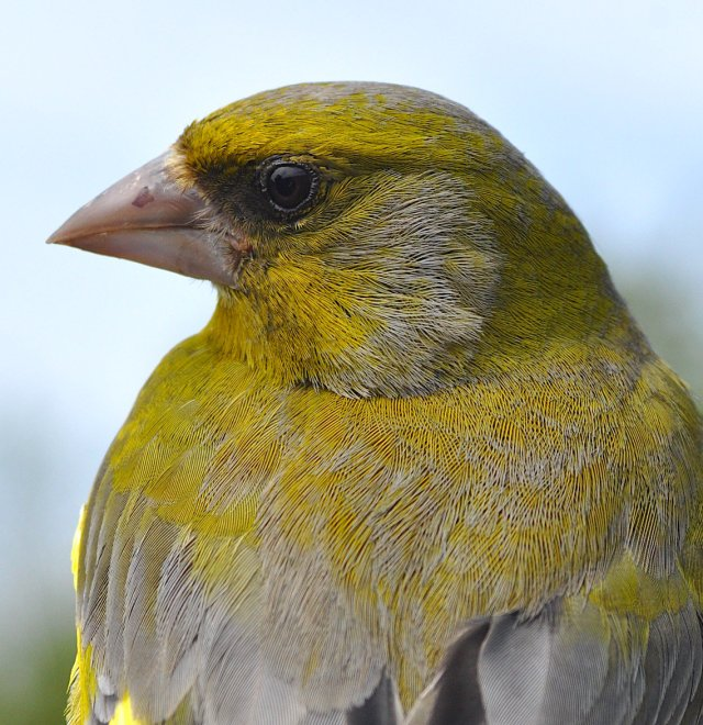 Greenfinch May RGD