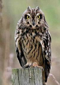 short-eared-owl-cww