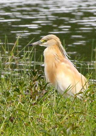 squacco-heron-rgs