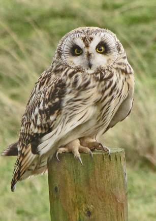short-eared-owl-dgc
