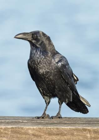 raven-pmh