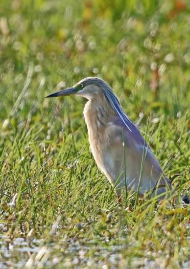 squacco-heron-js