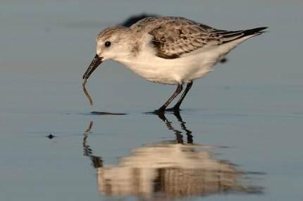 sanderling-rm