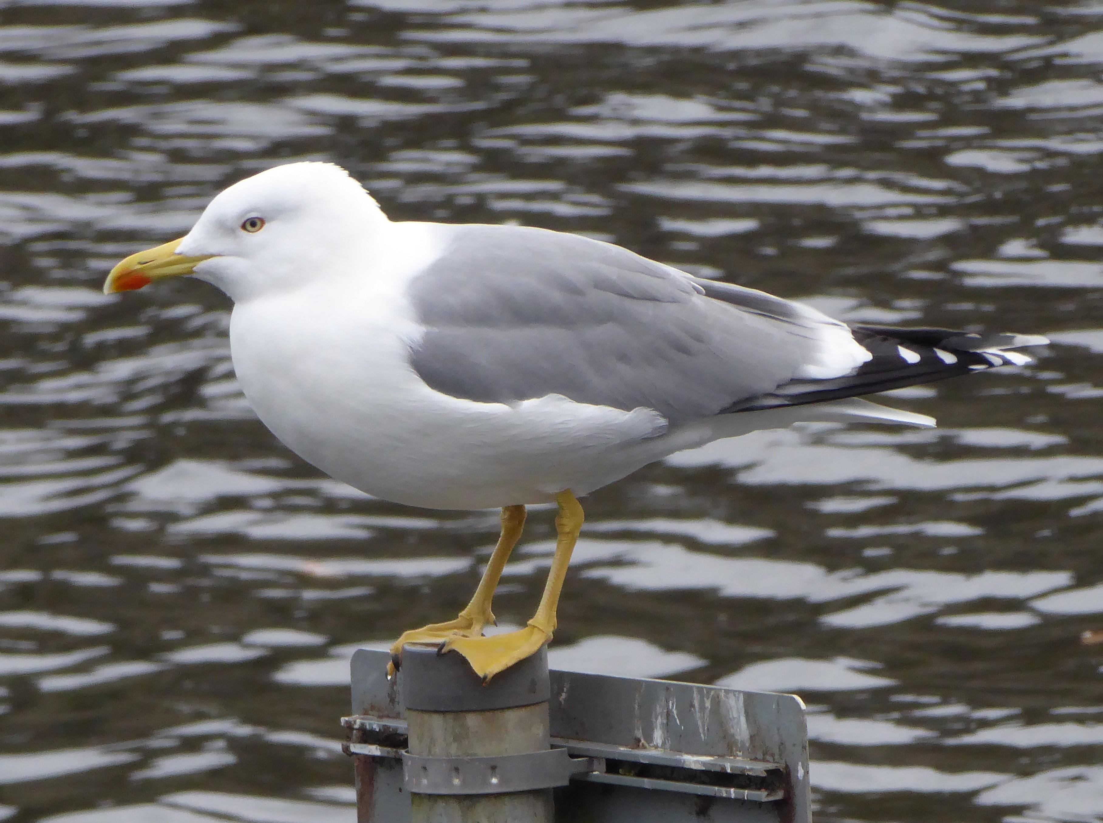 P1000825 Yellow Legged Gull Caerphilly Castle moat